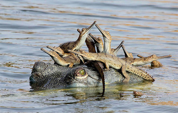 Baby Crocodiles Riding Big Crocodile