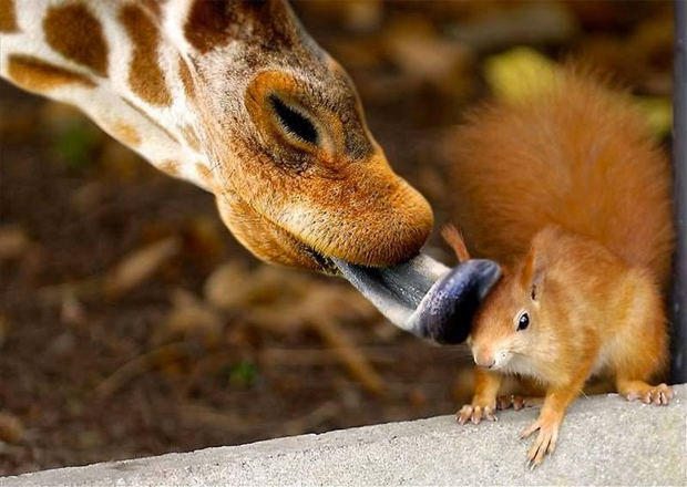 Giraffe Licking a Squirrel