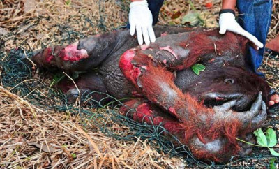 Orangutan-Killed