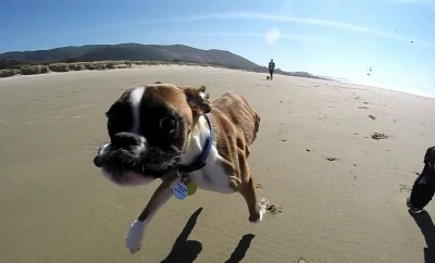 This Two Legged Boxer Dog Brought Tears to My Eyes. Watch This Incredible Story.